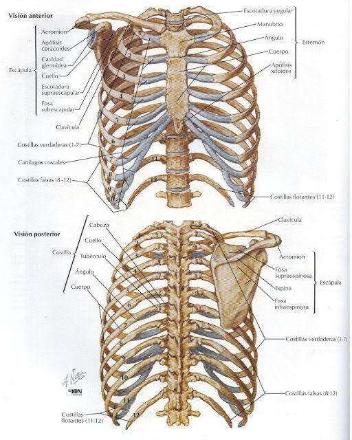Creditos a: Atlas de Anatomía Humana Netter 2da. Edición