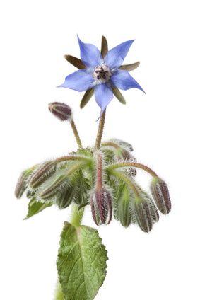 Brutnák (Borago officinalis)