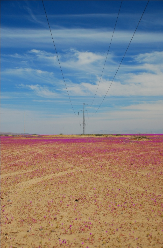 Desierto florido / Flowery desert. III Region, Chile. Foto: Dani Fuenzalida