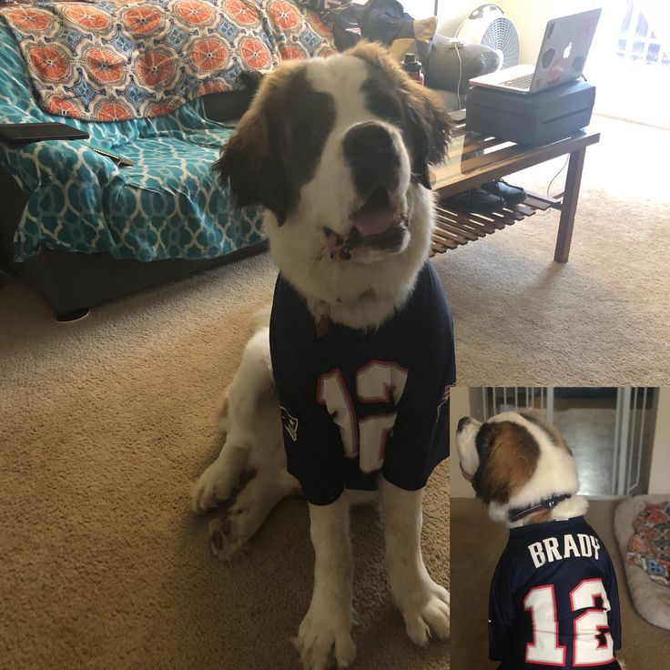 Tormund the Saint Bernard is ready for the game tonight! (X-post r/patriots) #dogpictures #dogs #aww #cuteanimals #dogsoftwitter #dog #cute