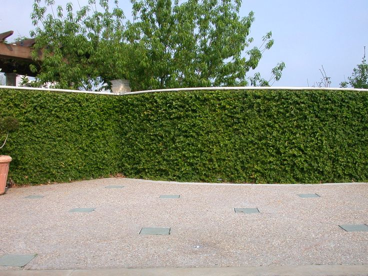 Nice use of ficus pumila, also known as creeping fig, to cover the walls of the garden.