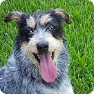 Vancouver, BC - German Wirehaired Pointer/Schnauzer (Standard) Mix. Meet JIlly, a for adoption. http://www.adoptapet.com/pet/18887459-vancouver-british-columbia-german-wirehaired-pointer-mix