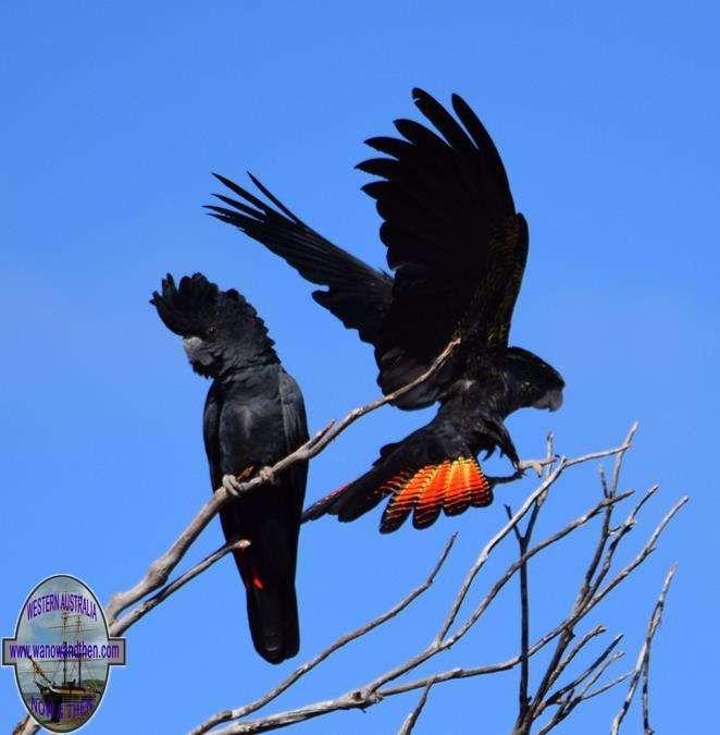 Red tailed black cockatoo - BIRDS OF WESTERN AUSTRALIA | Western Australia | www.wanowandthen.com