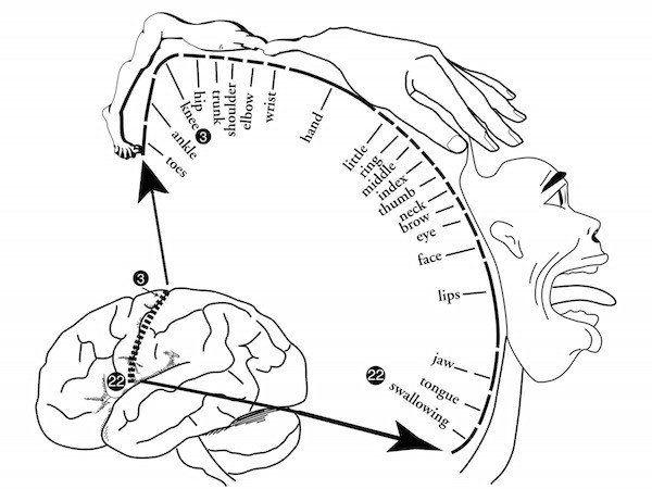 diagram of homunculus