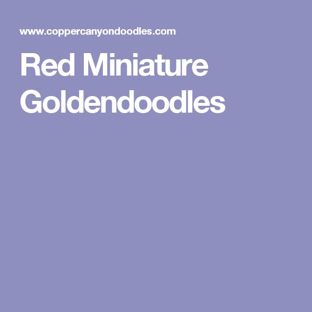 Red Miniature Goldendoodles