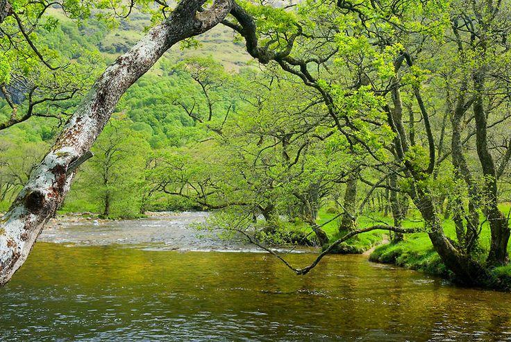 Birch trees along the River Nevis, Glen Nevis Scotland by Alan Majchrowicz