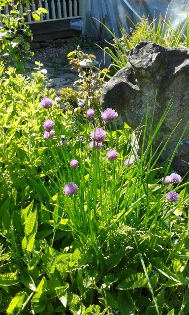 Chives early June