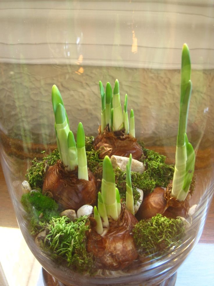 Paperwhite narcissus in a pretty jar with rocks and moss.