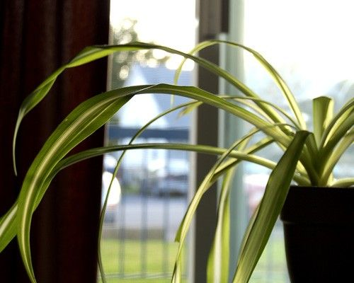 Spider plant (Chlorophytum comosum) Even if you tend to neglect houseplants, you'll have a hard time killing this resilient plant. With lots of rich foliage and tiny white flowers, the spider plant battles benzene, formaldehyde, carbon monoxide and xylene, a solvent used in the leather, rubber and printing industries.