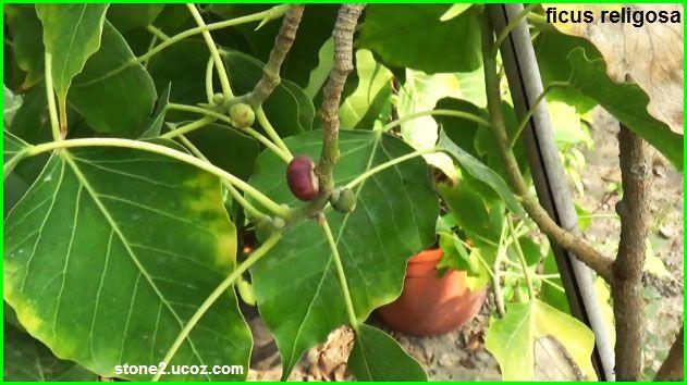تين المجوس او تين الاصنام او اثاب الهند Ficus Religiosa قسم الفواكه النبات معلومات نباتية وسمكية معلوماتية Ficus Fruit Vegetables