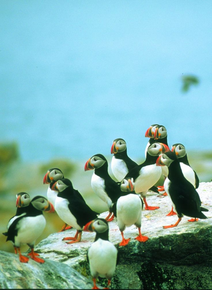 Birders love watching the puffins on Machias Seal Island near Grand Manan in the Bay of Fundy. You can take a tour boat to see them in their natural habitat. | New Brunswick, Canada travel #ExploreNB