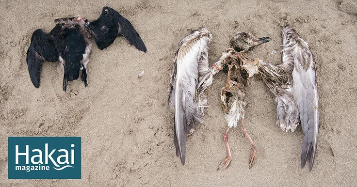 In the Pacific Northwest, the diligence of citizen scientists is shedding light on the lives, and deaths, of seabirds.