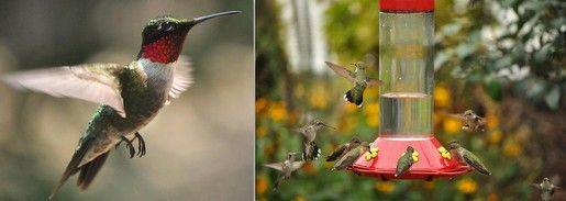Ruby-Throated hummingbird is the only native breeder in our region – the others we see here occasionally are strays. Only the males have the iridescent red throat that the species is named for, and he weighs in at just 3 ounces. These birds overwinter in Mexico & Panama, then across the Gulf of Mexico in 24 hours of straight flying, and show up in our region in mid-April. They're primarily bug-eaters but the nectar they drink from plants or our feeders provides the fuel they need to pursue…