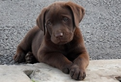 brown lab baby