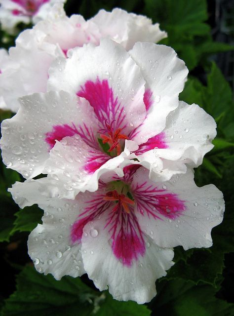 Geranium (Martha Washington)