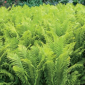 Tall Fern With Lovely Feather Like Fronds Delightful Yellow Green Leaves Graceful Arch Find This Pin And More On Zone 7 Shade