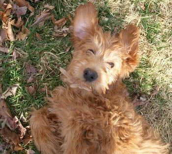 Countryside Doodles, Labradoodle & Goldendoodle Breeders, Puppies for Sale West Virginia