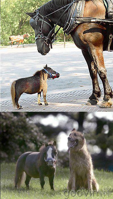Worlds smallest horse: Smallest Horses, Miniatures Horses, Minis House, Best Friends, Ponies, Farms, Small Hors, Minis Hors, Tiny Horses
