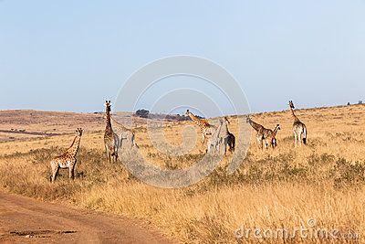 Wildlife animals herd of Giraffes with calf morning winter landscape wilderness park reserve.