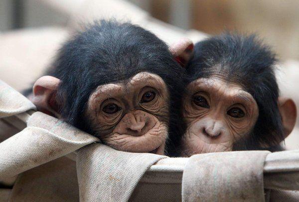 Little baby chimps