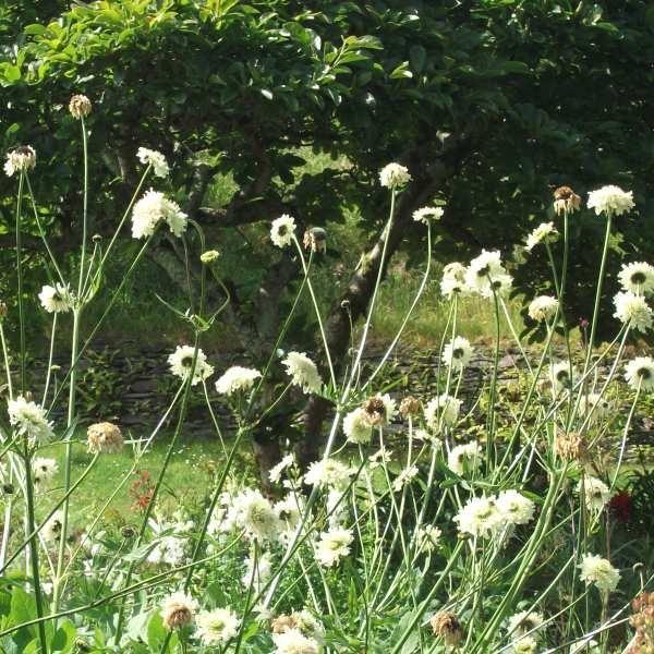 Skælhoved Cephalaria gigantea. Trods det noget ucharmerende navn er dette en helt fantastisk fin og usædvanlig flerårig kæmpeplante, der både fungerer godt i staudebedet og som solitærplante.  Fra en ca. 50 cm høj bladroset udspringer op til 2 meter høje, spinkle stængler afsluttende med en fin, krøllet og cremegul blomst, der minder meget om skabiose. De høje blomsterstængler er smidige og svajer for vinden – derfor er opbinding ikke nødvendig. Trods højden er skælhoved meget fin og…