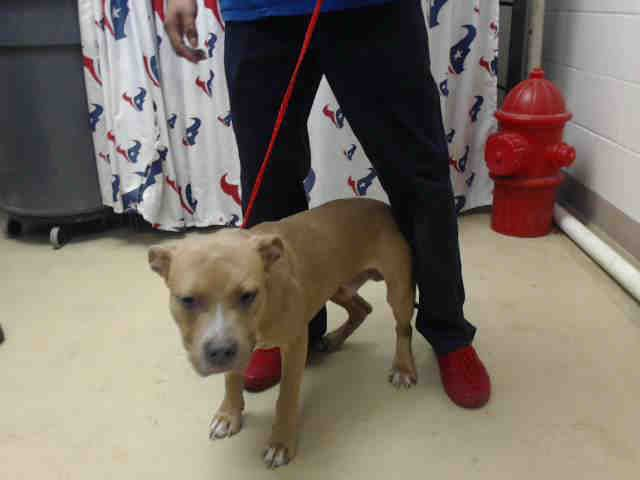This DOG - ID#A468877 - URGENT - Harris County Animal Shelter in Houston, Texas - ADOPT OR FOSTER - 1 year old Male Pit Bull Terrier - at the shelter since Sep 22, 2016.