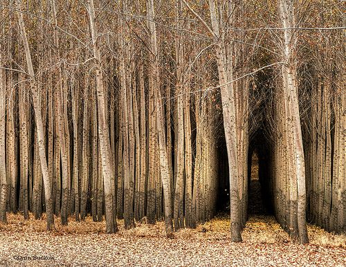 trees: Trees Sway, Birches, Aspen Trees, Unusual Trees, Beautiful Landscape, Trees Hugger, Tunnel Of Trees, Cool Trees, Mothers Natural