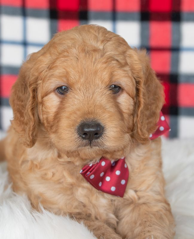 Pin By Lancaster Puppies On For Jazzmin In 2020 Mini Goldendoodle Puppies Goldendoodle Puppy For Sale Goldendoodle Puppy