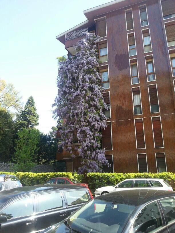 Incredible wisteria on apartment building in Pordenone.