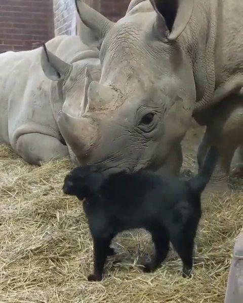 Rhino baby and cats friendship