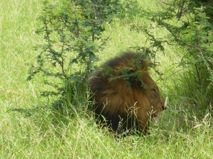 """Rencontre avec sa Majesté le lion dans la réserve du """"Camp Jabulani"""""""