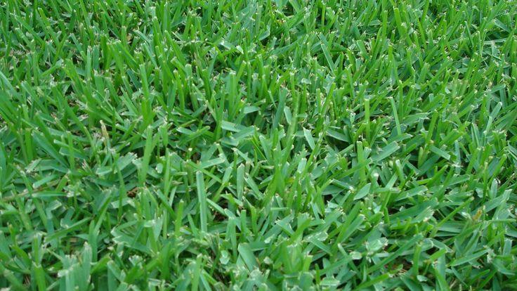Lawn Care Thatch in St. Augustine Grass St augustine