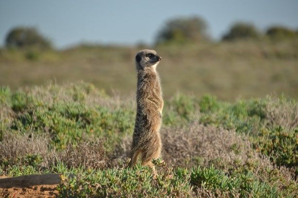 Oudtshoorn, South Africa — by Earthseeing. A wild meerkat in Oudtshoorn. This little creature had just woken up and came up, from his hole in the ground, to...