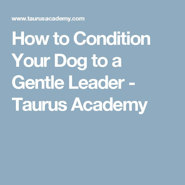How to Condition Your Dog to a Gentle Leader - Taurus Academy