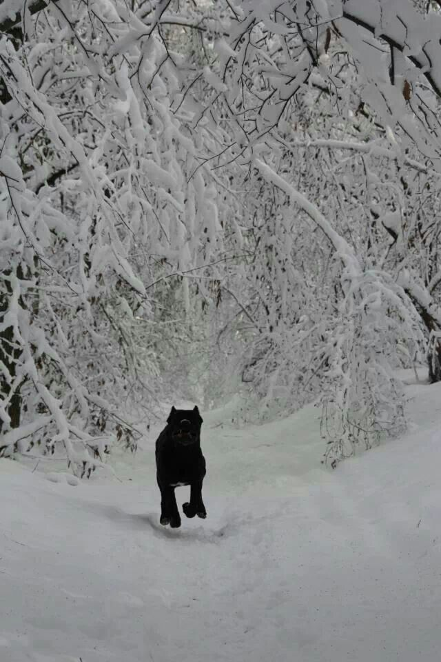Black #cane #corso in the snow