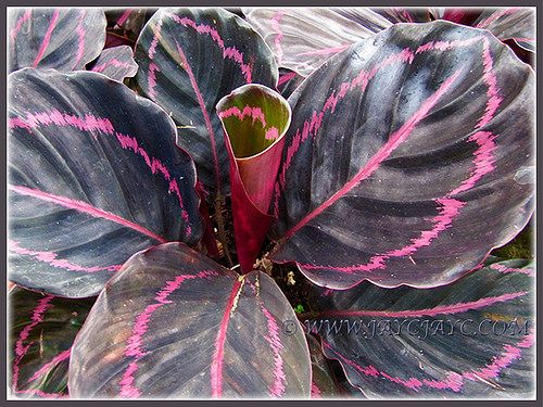67 best calathea images on pinterest shadow plants for Praying angel plant