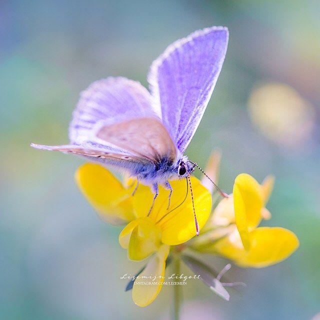 Blue butterfly in The Netherlands, dreamy mood  Copyright Lizemijn Libgott  https://instagram.com/lizemijn