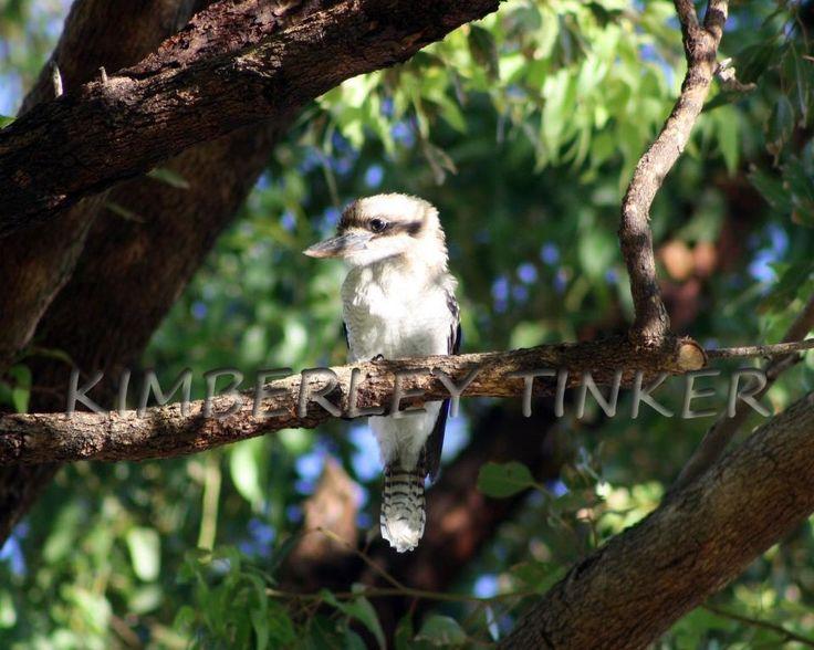 Kookaburra Western Australia