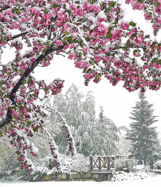 late snowEars Spring, Pink Flower, Cherries Blossoms, Winter Scene, Cherries Trees, Beautiful, Snow, Winter Wonderland, Blossoms Trees