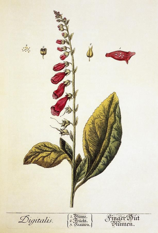 Digitalis Plant. This artwork is from a herbarium dating 1757 from the library of the Paris Faculty of Medicine.