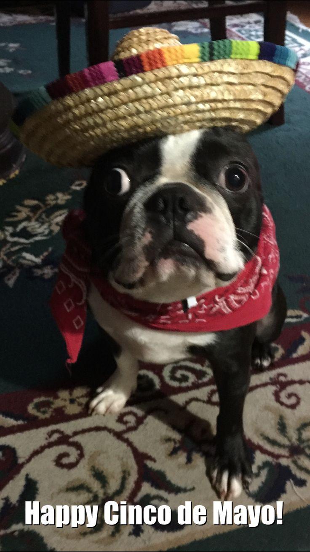 Cinco de Mayo meme Boston terrier dog, French bulldog