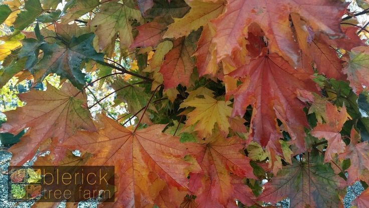 Acer platanoides – Crimson Sentry – Purchase Bare Rooted Trees Online