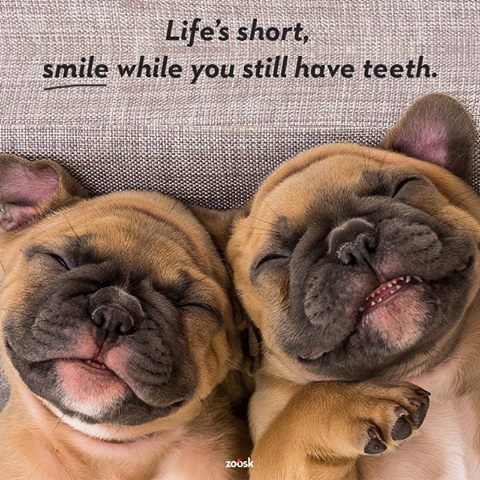 'Life's short, Smile while you still have Teeth!', funny French Bulldog Puppies