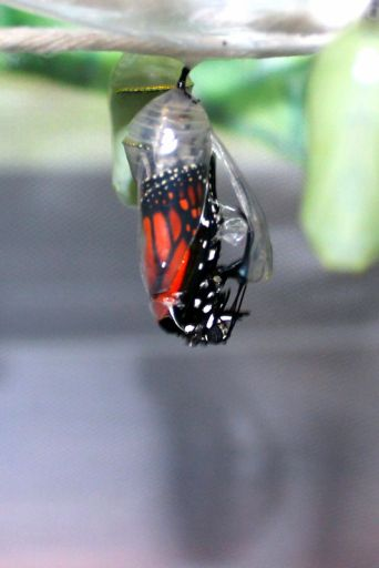 {Learn how to Raise Butterflies} Great round-up of ideas on how to experience and observe the four phases of a butterfly!