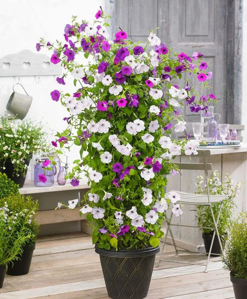 potted climbing petunias flower garden inspiration. Black Bedroom Furniture Sets. Home Design Ideas