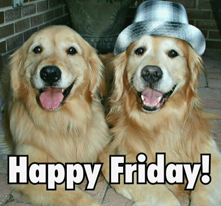 Happy Friday Labs :) | Entirely Dog Memes | Pinterest ...