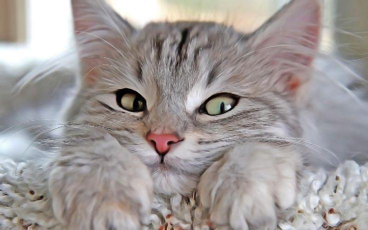 Comment éliminer naturellement les mites d'oreilles du chat ? Reconnaitre des mites d'oreilles ? La médecine holistique contre la gale aux oreilles du chat.