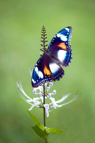 """common eggfly butterfly by JennyDean  nothing """"common"""" about this fabulous flutterby ~~~"""
