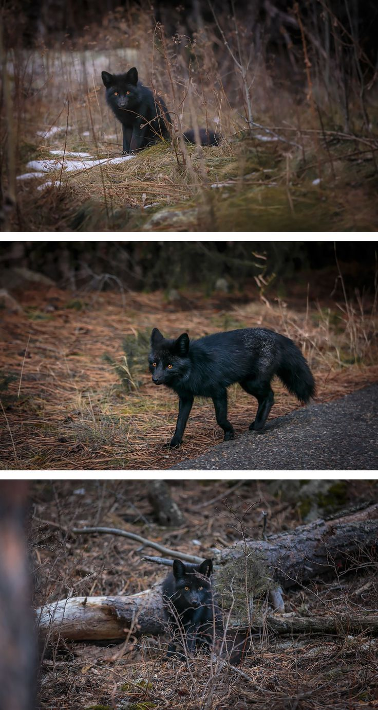 The Rare Beauty Of Black Foxes