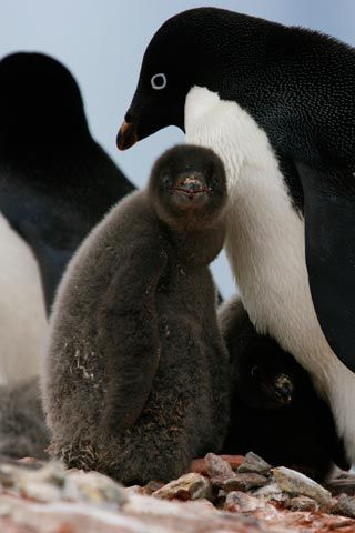 Adopt a penguin today with WWF-UK